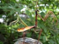 Haw Creek Forge Mantis and friend